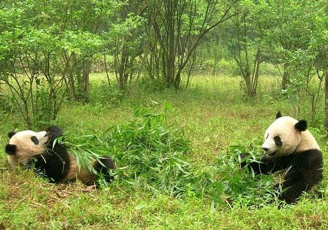 Panda nel Sichuan, Cina – Foto Pixabay