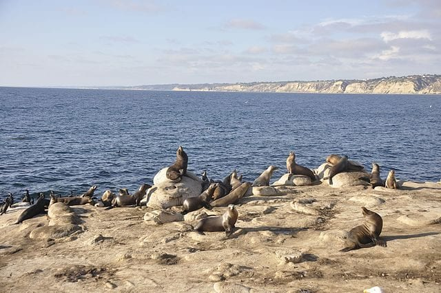 Leoni marini a La Jolla Cove – Foto Wikimedia Commons