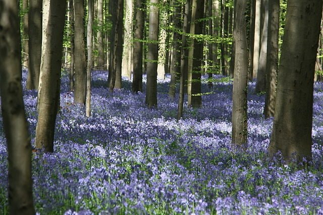 Foresta di Hallerbos – Foto Wikimedia Commons