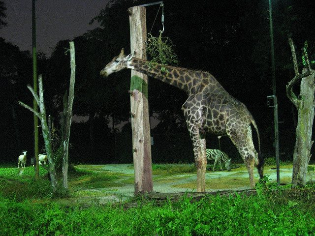 Night Safari. Singapore