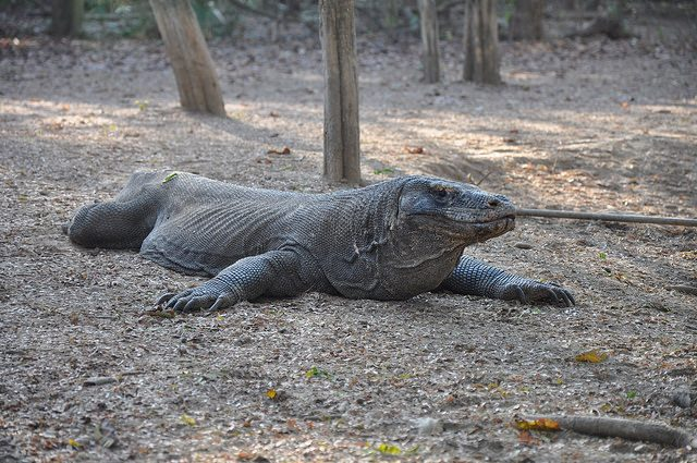 Drago di Komodo – Foto Flickr