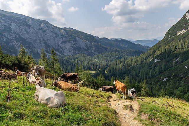 Mucche al pascolo nello splendido scenario del Parco – Foto Wikimedia Commons
