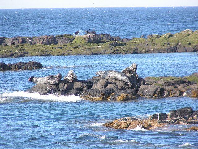 Foche sull'Isola di May – Foto www.geograph.org.uk