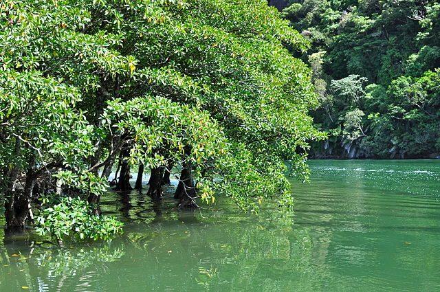 Mangrovie sull'isola di Iriomote – Foto Wikipedia