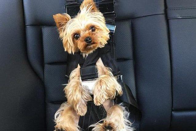 Il Rockeeter Pack, le cinture dedicate ai cani– Foto Zugopet
