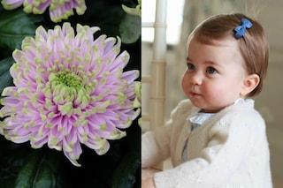 Ecco il crisantemo 'principessa Charlotte', fiore dedicato alla figlia di Kate Middleton