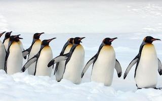 Colonia di pinguini in pericolo, troupe della BBC interviene e salva la vita agli animali