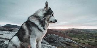 Morto Odin, il cane era il metalupo Summer ne Il Trono di Spade