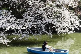 Hanami, lo spettacolo dei ciliegi in fiore all'Istituto Giapponese: info e orari
