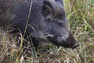 Rieti, cinghiale abbattuto ha l'Epatite E: allarme tra cacciatori e non solo