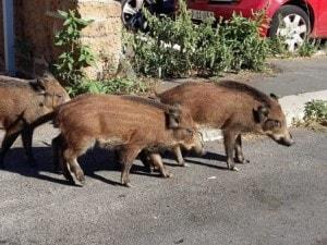 Una famiglia di chinghiali a spasso per Trionfale