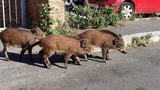 Il Comune di Roma va a caccia di cinghiali: catturati e poi abbattuti