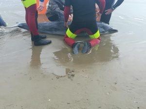Il delfino spiaggiato ad Anzio (Foto Facebook/Creature del Mare)