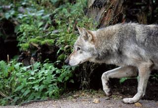 Viterbo, cucciolo di lupo decapitato e i resti infilati in una busta