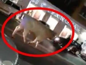 Il toro avvistato in strada