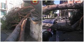 Corso Trieste: grosso albero si schianta di fronte il Giulio Cesare