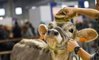 Per fare cassa il Campidoglio vende il latte delle sue mucche: entrate da 600mila euro l'anno