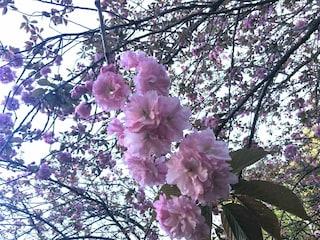 Hanami, la magia dei ciliegi in fiore all'Orto Botanico di Roma: orari, prezzi e informazioni