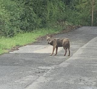 Avvistata una lupa a Roma: l'animale non è da solo, altri esemplari in zona