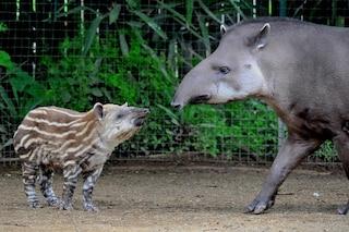 Nuovi nati al Bioparco di Roma: dai cuccioli di tapiro ai teneri lemuri