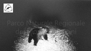Monti Simbruini, spunta per la prima volta un orso marsicano: è in via di estinzione