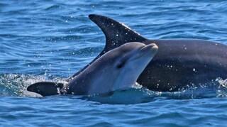 Delfini in mare a Roma: avvistato un gruppo di cetacei tra Ostia, Fiumicino e Torvaianica