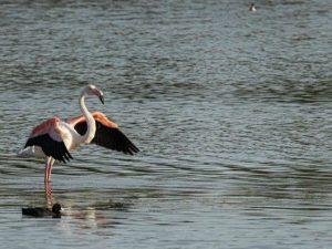 Il fenicottero rosa all'oasi Lipu di Ostia (Foto di Stefano Latini)