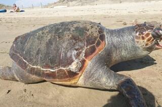 Tartaruga muore sulla spiaggia di Fiumicino: aveva la pancia e la bocca piene di plastica