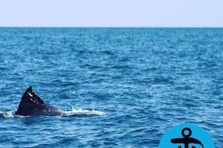 Un branco di delfini nuota nel mare di Roma. Ma uno di loro ha una busta di plastica sulla pinna