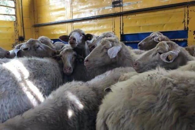 Le pecore sequestrate a Roma su via Laurentina