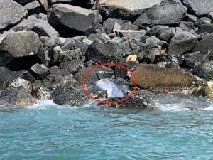 Delfino trovato morto sugli scogli ad Ostia