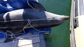 """Un altro delfino morto al largo di Ostia: """"Forse è morbillivirus non toccate le carcasse"""""""