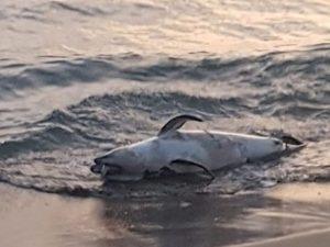 L'ennesimo delfino trovato morto sul litorale laziale – foto Oceanomare Delphis Onlus