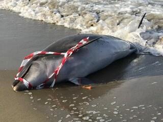 Fregene, delfino trovato morto in spiaggia: aumentano i casi, l'ultimo sabato scorso