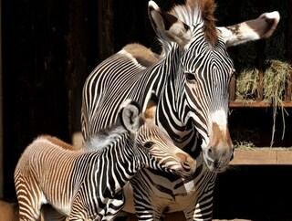 Fiocco rosa al Bioparco di Roma: è nata Fiamma, una rara zebra reale a rischio estinzione