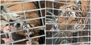 Viaggio dell'orrore per dieci tigri da Latina in Russia: una è morta, nove in fin di vita