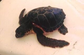 Salvata a Fregene la tartarughina Camilla, rimasta impigliata tra le lenze dei pescatori