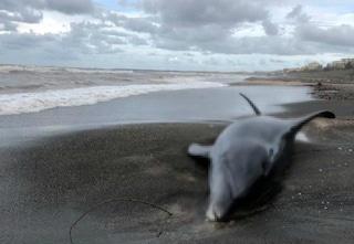 Delfino morto a Latina trovato in spiaggia: è il secondo in una settimana