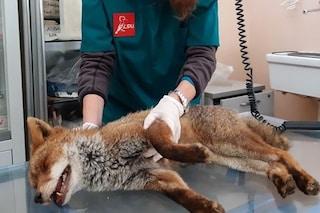 """Villa Pamphilj, la volpe soccorsa dai volontari è ancora in pericolo: """"Cedro è stata investita"""""""