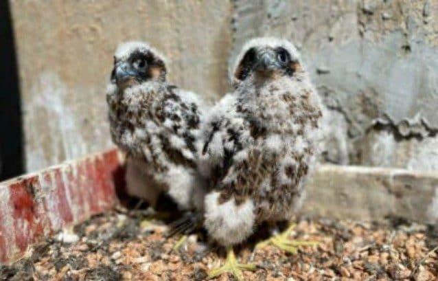 Le uova si schiudono e nascono due piccoli falchi pellegrini: il nido su un ex inceneritore