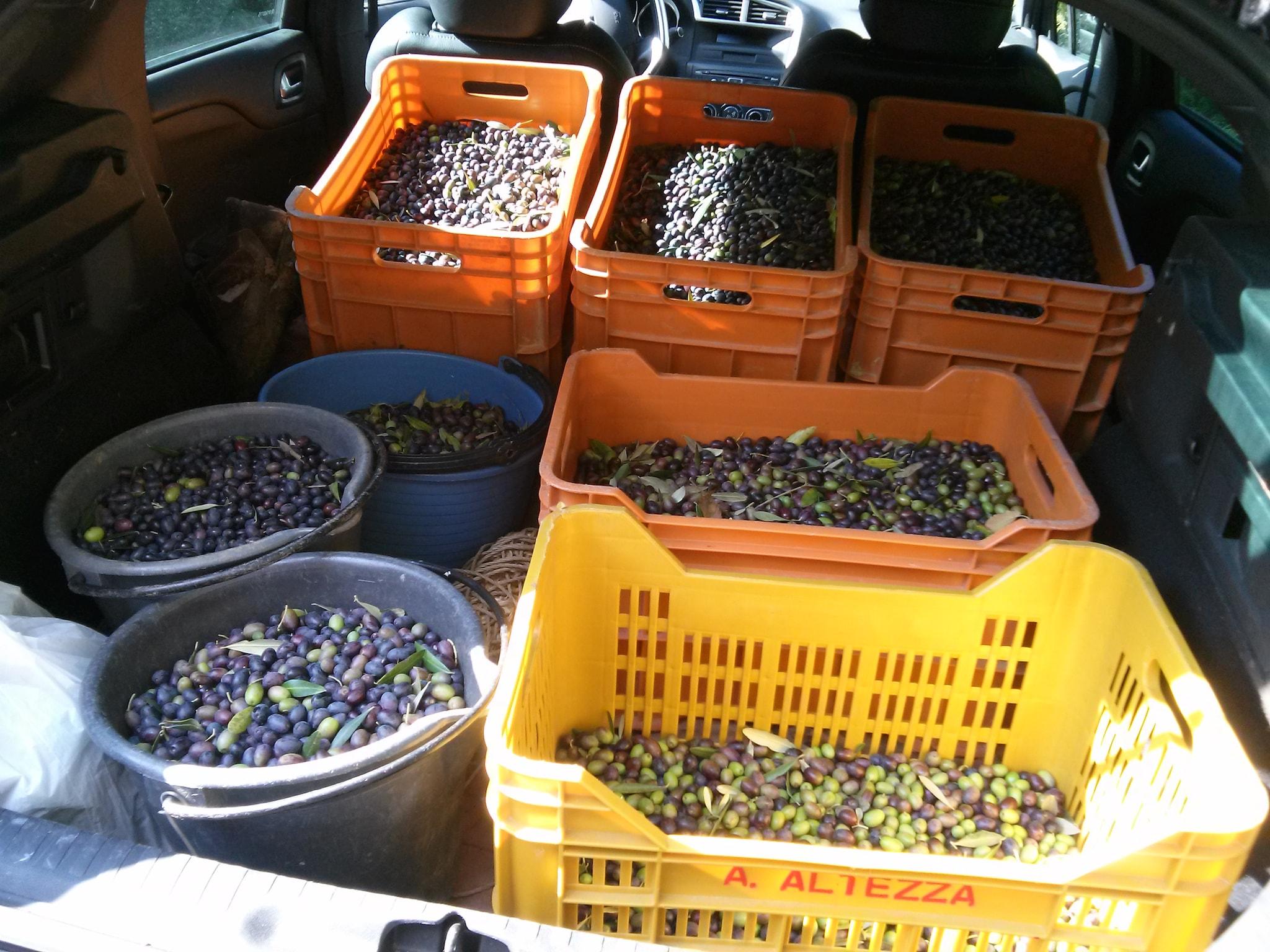 cestini raccolta olive