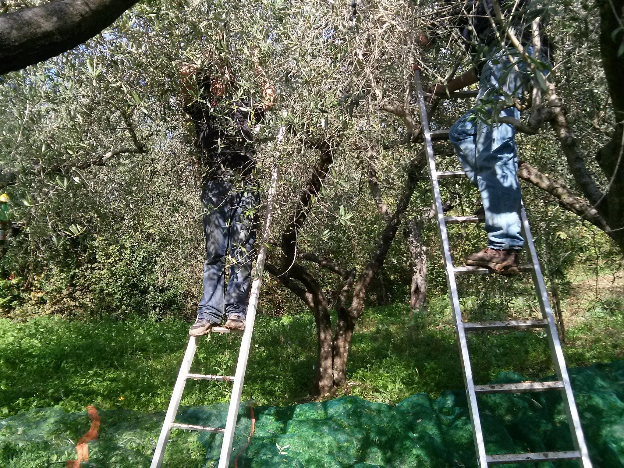 raccolta olive su scale
