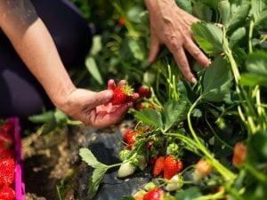 grow-strawberries