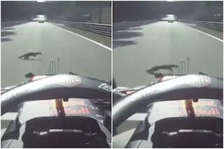 Verstappen abbatte un animale in pieno rettilineo: orrore nel GP di Monza