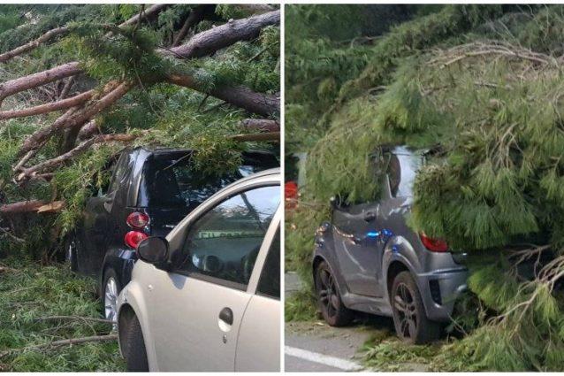 Il pino marittimo caduto in via di Novella