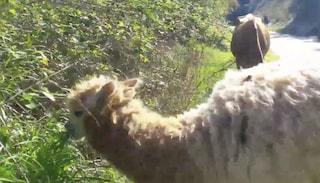 Roma come il Perù: sulla ciclabile del Lungotevere un alpaca pascola tra pecore e mucche
