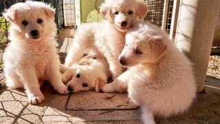 Rieti, uccide otto cuccioli di pastore maremmano a picconate: denunciato