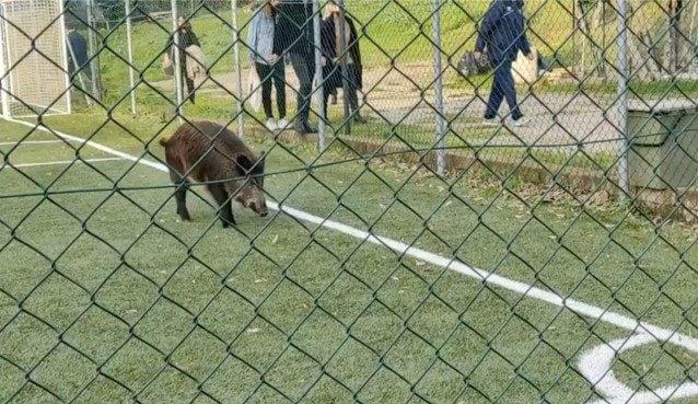 Il cinghiale rinchiuso nel campetto da calcio di Villa Carpegna