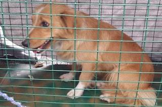 """Aumentate le domande di adozione con il Covid, i volontari: """"Cani chiesti per noia o per uscire"""""""