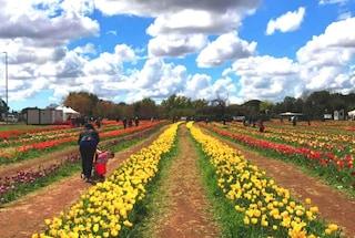 Riapre a Roma Tulipark, il parco con 360mila tulipani in fiore